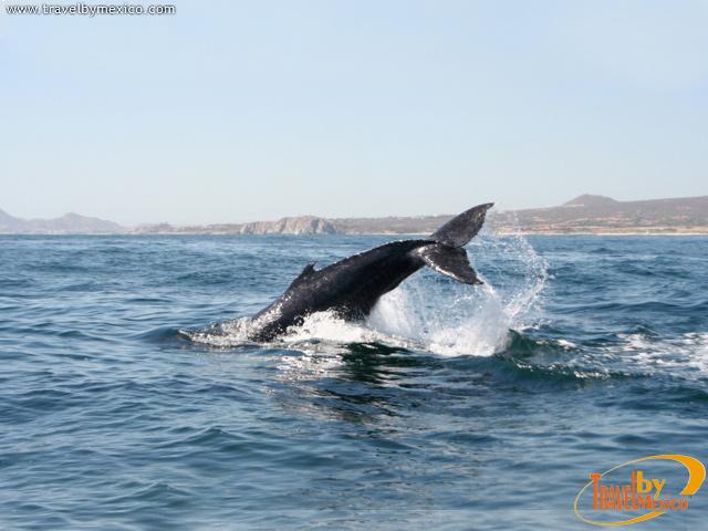 Avistamiento de Ballenas Gris en Los Cabos