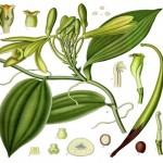 La Vainilla, aromático regalo de las tierras veracruzanas