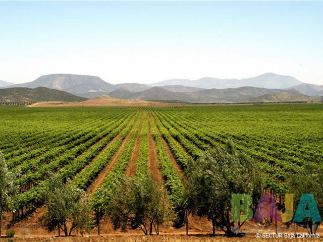 Baja California y sus vinos