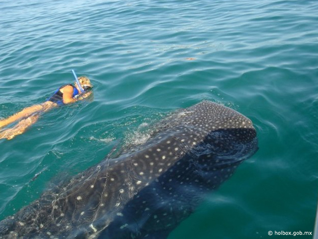 El Tiburón Ballena en México