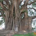 Árbol del Tule: el gigante milenario de Oaxaca