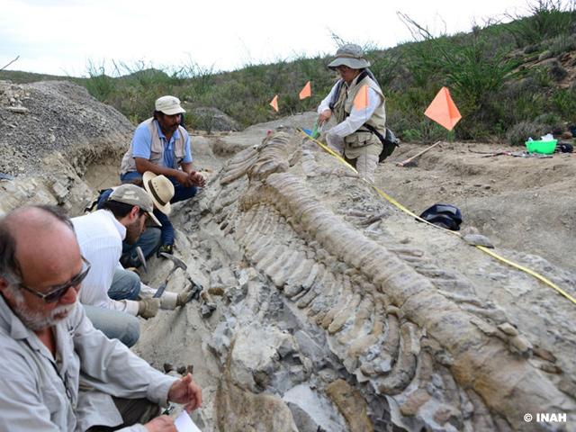 Rescatan cola intacta de dinosaurio en Coahuila