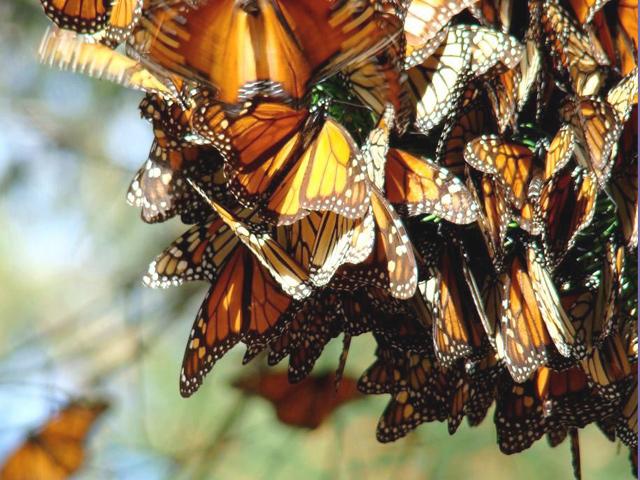 Ya inició la Migración de la Mariposa Monarca a México