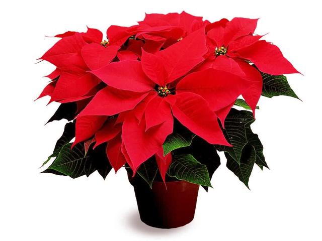 8 de diciembre: Día Nacional de la Flor de Nochebuena