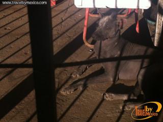 Xoloitzcuintle también llamado perro pelón mexicano o perro azteca