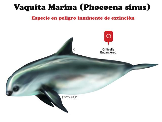 La Vaquita Marina: especie en peligro inminente de extinción