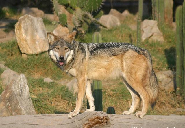 El Lobo Mexicano, especie en peligro de extinción