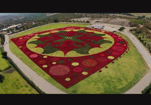 México rompe el Récord Guinness por el tapete floral de Nochebuenas más grande del mundo