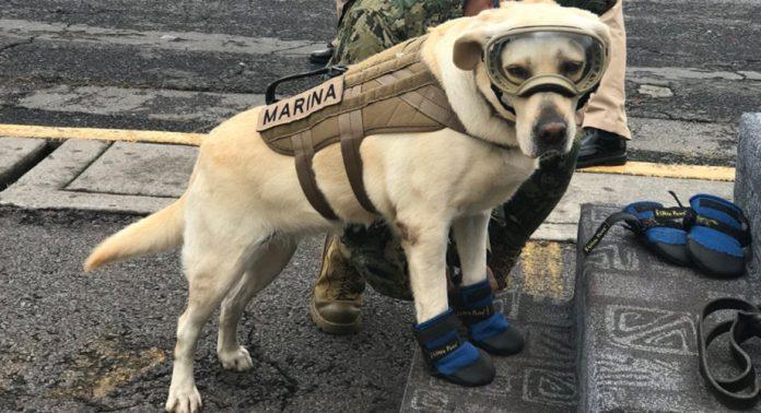 Terremoto en México: Frida, la perra rescatista que ha salvado a decenas