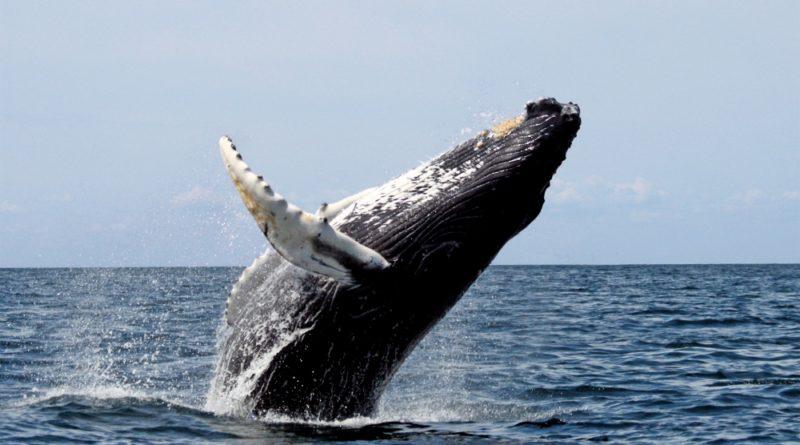 Ya comenzó el avistamiento de ballenas jorobadas en la Riviera Nayarit.