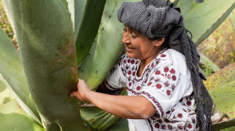 Pulque de Santa María Tlahuitoltepec, es una de las bebidas tradicionales más representativas de Oaxaca.