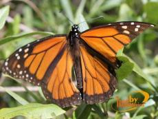 Migration of the Monarch Butterfly